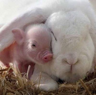 돼지 토끼 실사판....진짜야, 가짜야