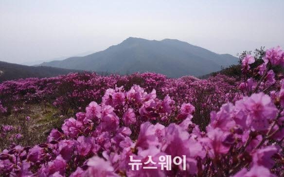 지리산 노고단, 털진달래 만개 장관
