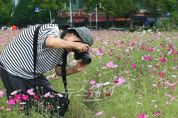 부천 코스모스공원, '코스모스 꽃이 활짝 폈네~'