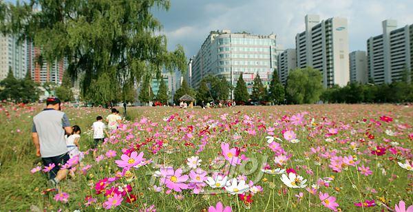 가을향기 물씬 풍기는 부천 코스모스 꽃길