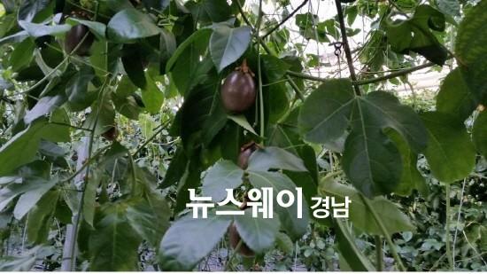 경남농업기술원, 아열대작물 '패션프루트'를 아세요?