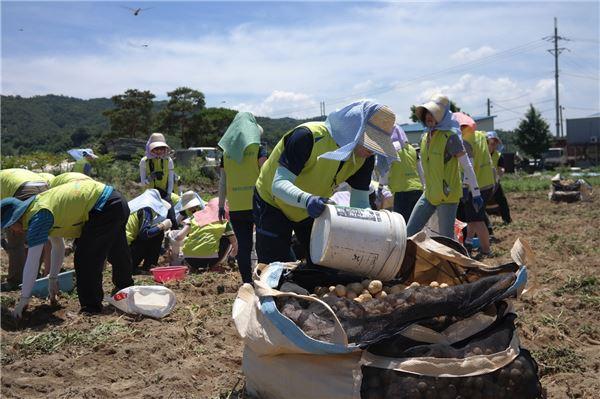 NH농협생명 임직원, 일손 부족한 감자농가 지원