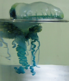 제주 해안가서 맹독성 해파리 출현…쏘임사고 주의