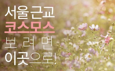 서울 근교 코스모스 보려면 이곳으로!