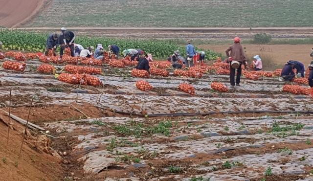 농협전남지역본부, 무안양파 비계약농가 생산물량 긴급 수매