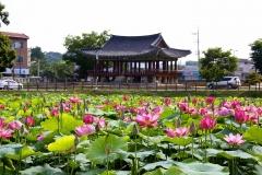 호남제일정(湖南第一亭) 피향정 연꽃 만발