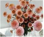 aT, 겨울철 '이달의 꽃'으로 국화·리시안셔스·율마·포인세티아 선정