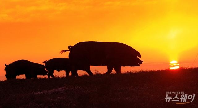 돼지고기 도매가 13.9%↓…가격 안정 되찾는 모양새