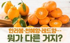 한라봉·천혜향·레드향…뭐가 다른 거지?