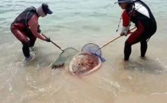 부산 해운대 해수욕장에 '노무라입깃 해파리' 출몰