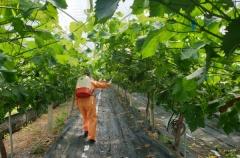 경북농기원, 수출 검역 대비 포도 방제력 개발