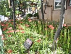 산림조합중앙회, 삼학사 어린이공원에 꽃무릇 활짝 피어