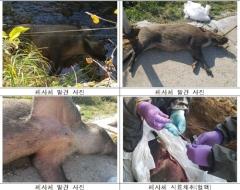 철원·연천서 '아프리카돼지열병' 감염된 야생 멧돼지 폐사체 발견