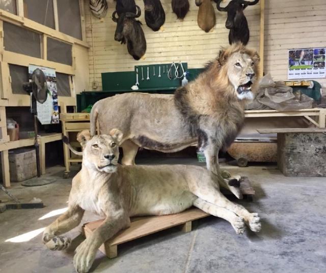 목포자연사박물관, 호남권 첫 아프리카 사자 박제 전시