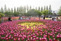 2020고양국제꽃박람회, 튤립 구근 58만개 식재...전년 대비 4배 ↑