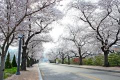 정읍시, '눈꽃처럼 화사한 벚꽃로' 명성 유지 나서