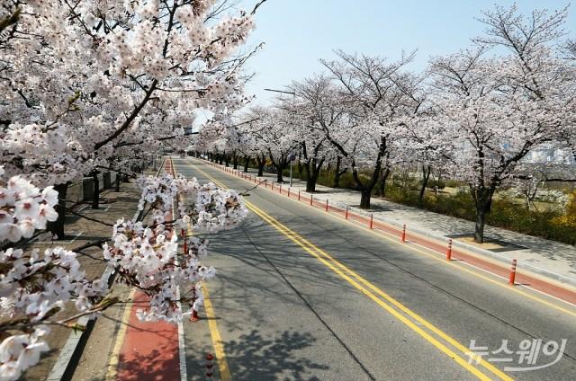 텅빈 윤중로 벚꽃길