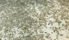 경북 동해안에 가자미 치어 80만마리 방류
