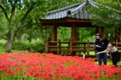 청도 운문사, 아름드리 소나무 숲속에 꽃무릇 활짝
