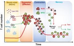 전남대 조재호 교수팀 신생 CD8 T세포 기능다양성 형성 기전 규명